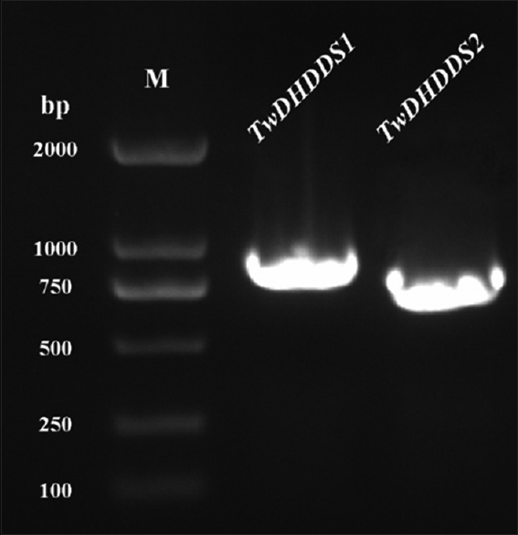 Figure 2: The polymerase chain reaction amplification results of <i>TwDHDDS1</i> and <i>TwDHDDS2</i> using specific primers. M: <i>Trans</i> 2K DNA marker